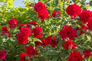 robin_roses