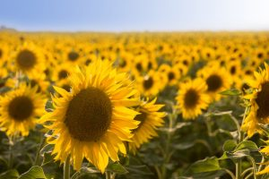 robin_sunflowers